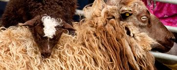 Årets tema på uldfestivallen 2014